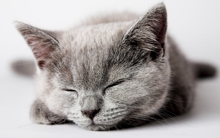 морда, кошка, сон, котенок, серый, face, cat, sleep, kitty, grey