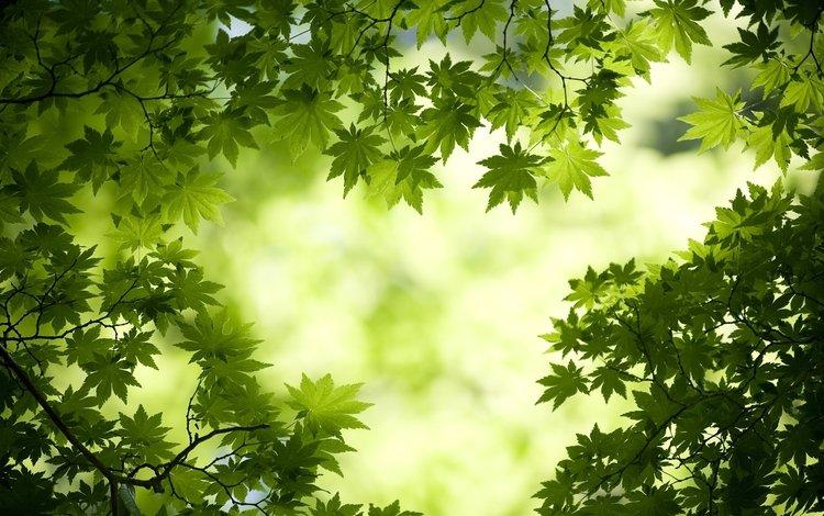 свет, листья, макро, ветки, зеленые, клен, light, leaves, macro, branches, green, maple