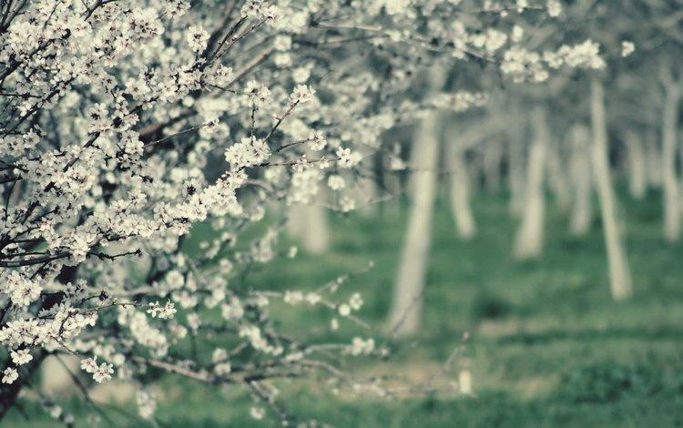 flowers, tree, flowering, branches, garden, spring, white