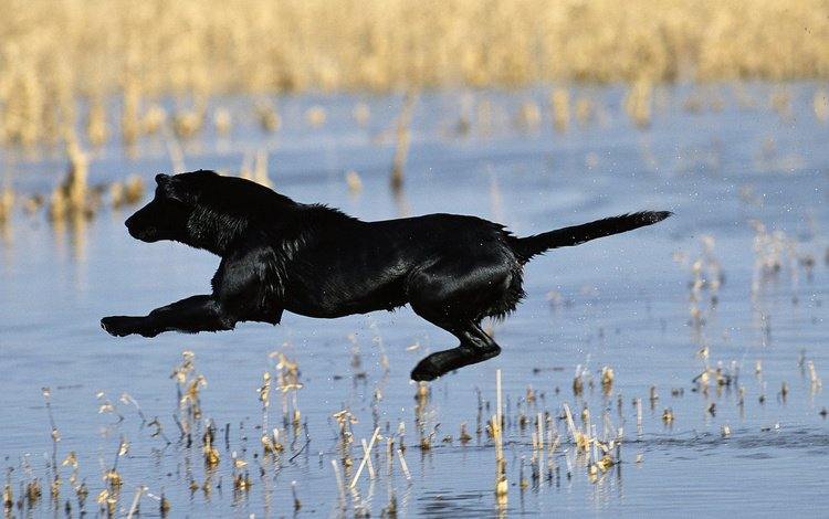flight, dog, pond, jump, black, tail