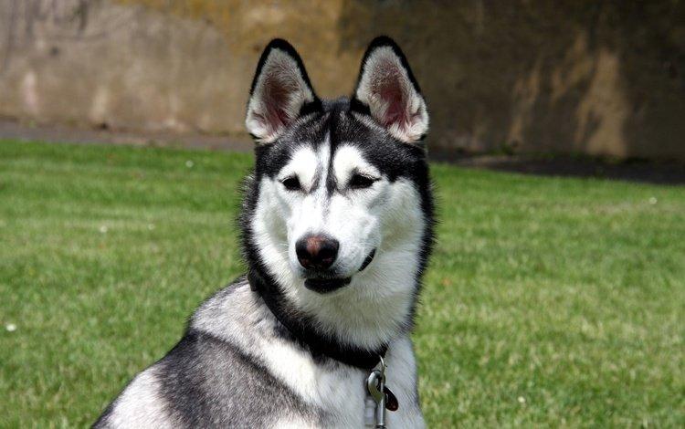 морда, карабин, трава, взгляд, собака, хаски, уши, ошейник, нос, face, carabiner, grass, look, dog, husky, ears, collar, nose
