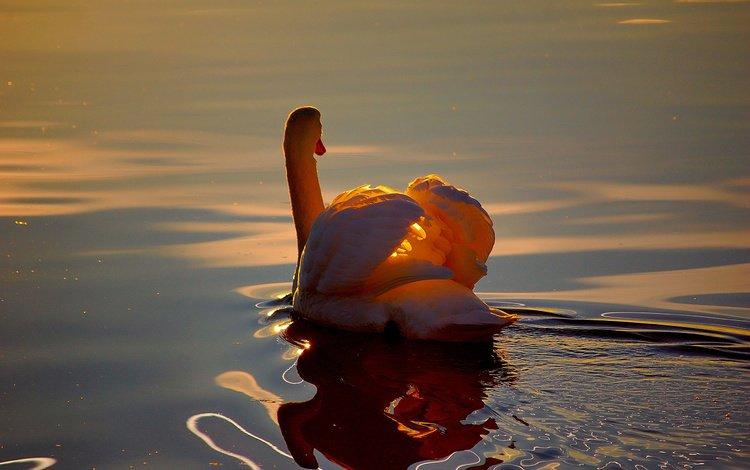 свет, озеро, отражение, белый, птица, лебедь, light, lake, reflection, white, bird, swan
