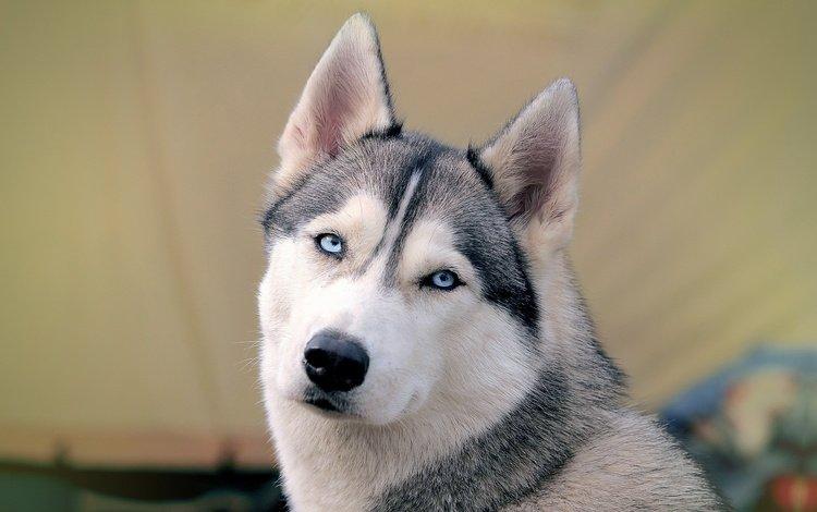 морда, собака, хаски, голубые глаза, сибирский хаски, face, dog, husky, blue eyes, siberian husky