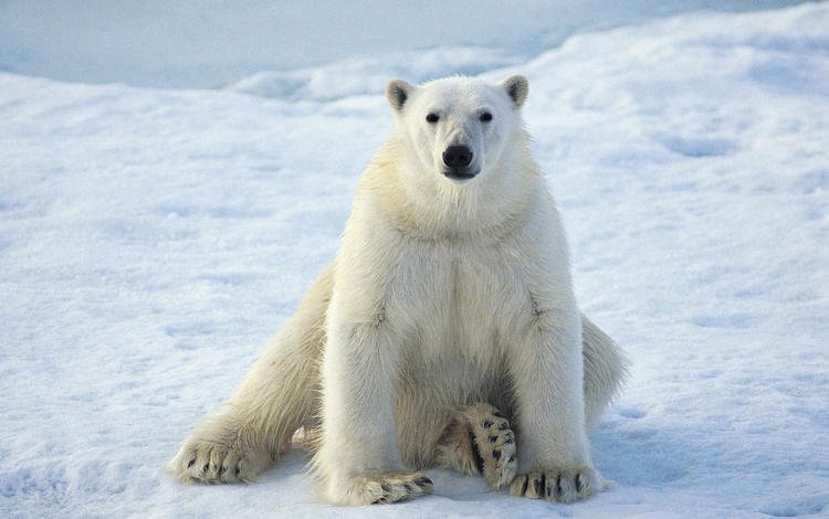 winter, polar bear