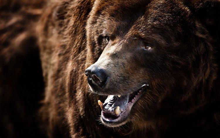 морда, улыбка, медведь, зверь, гризли, face, smile, bear, beast, grizzly