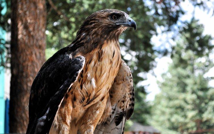 фон, размытость, профиль, птица, сокол, background, blur, profile, bird, falcon