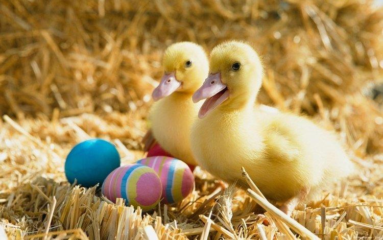 птицы, пасха, яйца, праздник, утята, солома, утки, birds, easter, eggs, holiday, ducklings, straw, duck