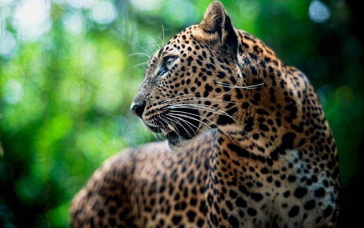 морда, усы, леопард, хищник, face, mustache, leopard, predator