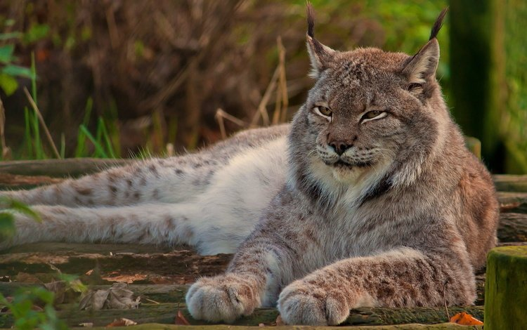 морда, канадская, рысь, гордый, лапы, смотрит, взгляд, лежит, отдых, дикая кошка, face, canadian, lynx, proud, paws, looks, look, lies, stay, wild cat