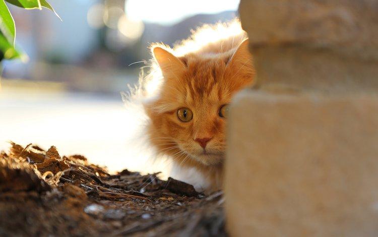 кот, кошка, рыжий, страх, выглядывает, cat, red, fear, peeps