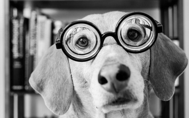 морда, взгляд, очки, чёрно-белое, собака, face, look, glasses, black and white, dog