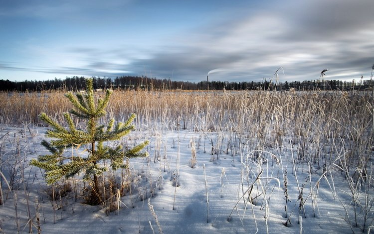 трава, снег, природа, зима, поле, ель, сухая, grass, snow, nature, winter, field, spruce, dry