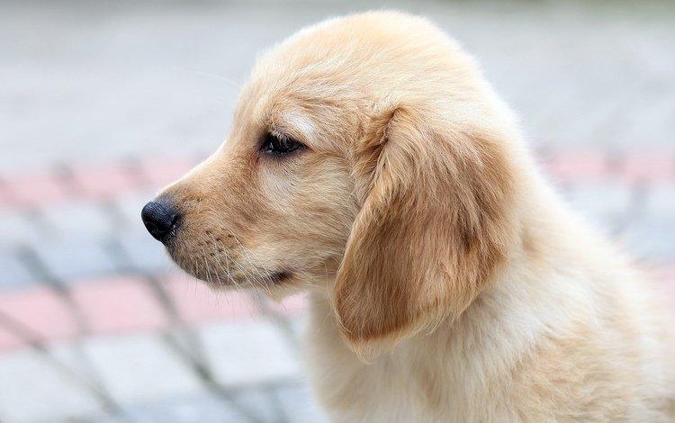 собака, щенок, профиль, лабрадор, ретривер, dog, puppy, profile, labrador, retriever