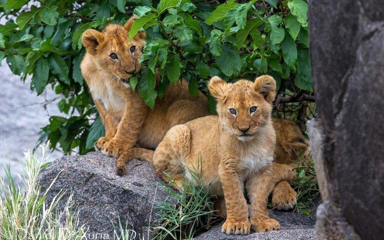 дерево, камни, львы, львята, tree, stones, lions, the cubs