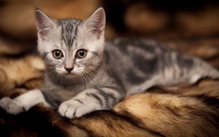 cat, look, kitty, lies, baby, fur