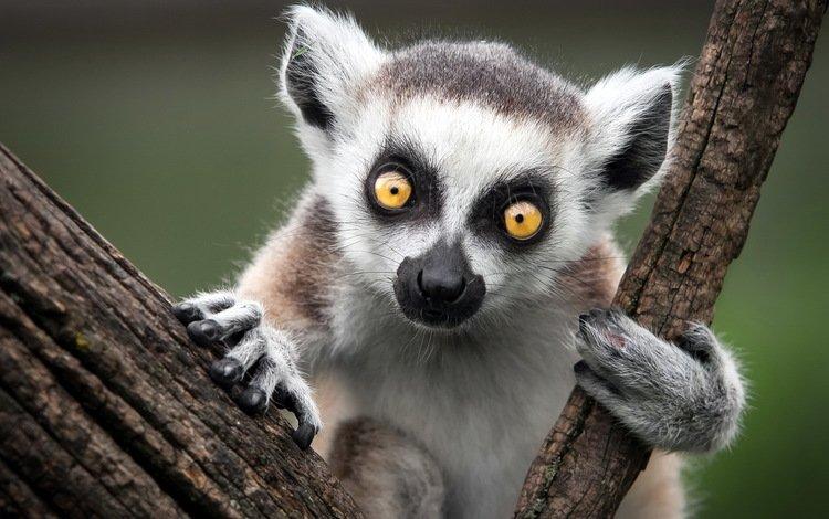 животные, лемур, катта, кошачий, кольцехвостый, ring-tailed lemur, animals, lemur, katta, cat, ring-tailed
