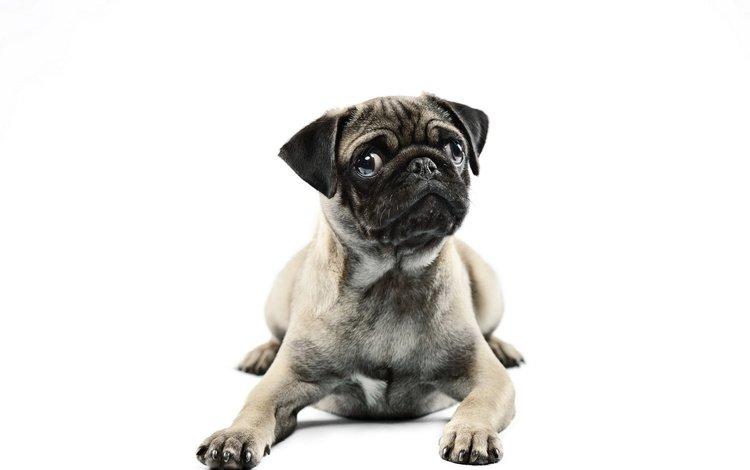 взгляд, собака, белый фон, мопс, look, dog, white background, pug