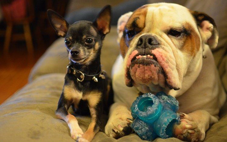 друзья, собаки, бульдог, чихуахуа, friends, dogs, bulldog, chihuahua