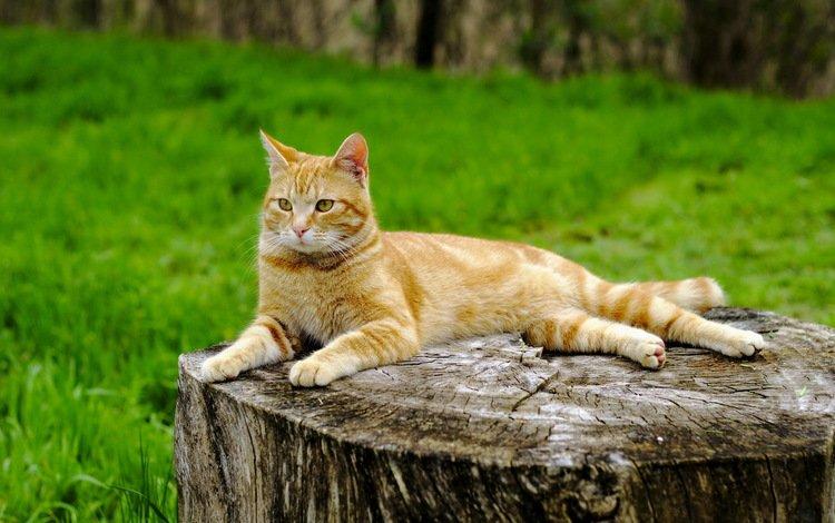 трава, кот, лето, кошка, рыжий, пень, grass, cat, summer, red, stump