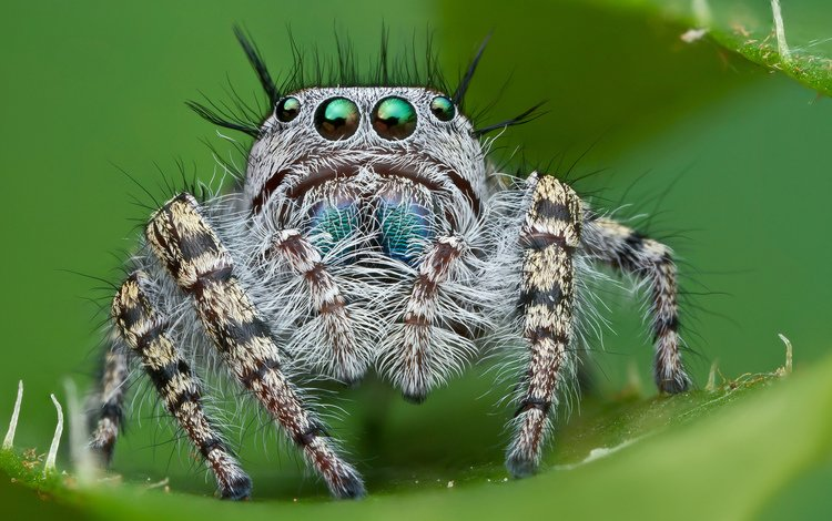 eyes, looks, insects, spider, diaper, jumper, hairy, spider-skakuny