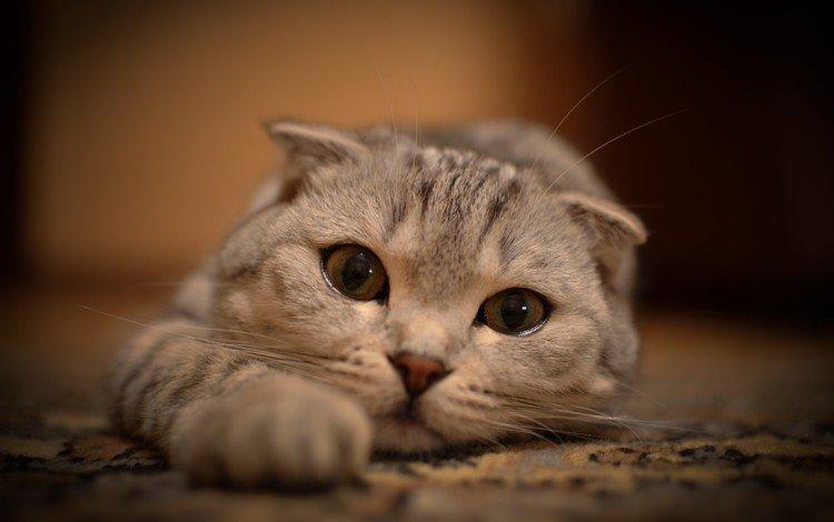 глаза, кот, усы, кошка, взгляд, лежит, лапки, вытянулась, eyes, cat, mustache, look, lies, legs, stretched