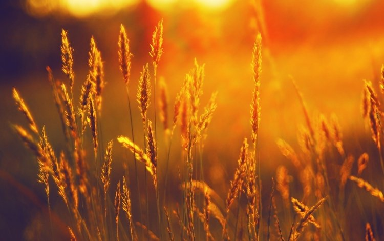 трава, закат, поле, лето, колоски, grass, sunset, field, summer, spikelets