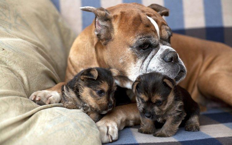 собака, дом, щенки, семья, забота, диван, боксер, dog, house, puppies, family, care, sofa, boxer