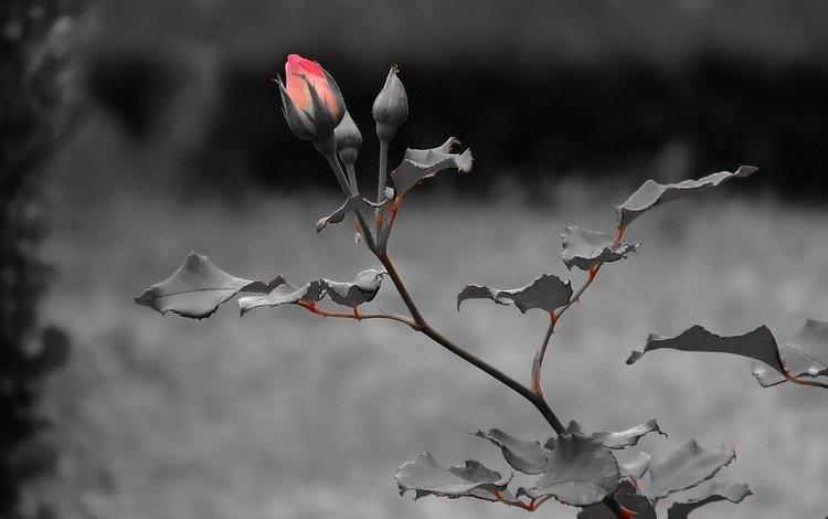 цветы, листья, роза, красная, стебель, чёрно - белые, flowers, leaves, rose, red, stem, black and white