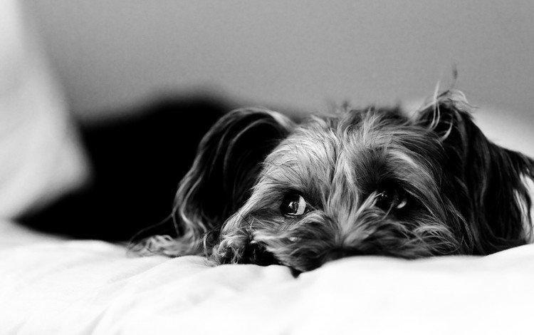 грусть, взгляд, собака, постель, sadness, look, dog, bed