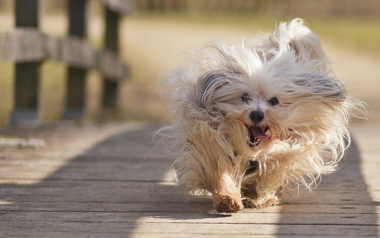 mood, bridge, dog, the havanese, run