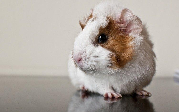 отражение, животные, грызун, морская свинка, reflection, animals, rodent, guinea pig