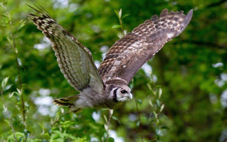 сова, полет, ветки, крылья, птица, owl, flight, branches, wings, bird
