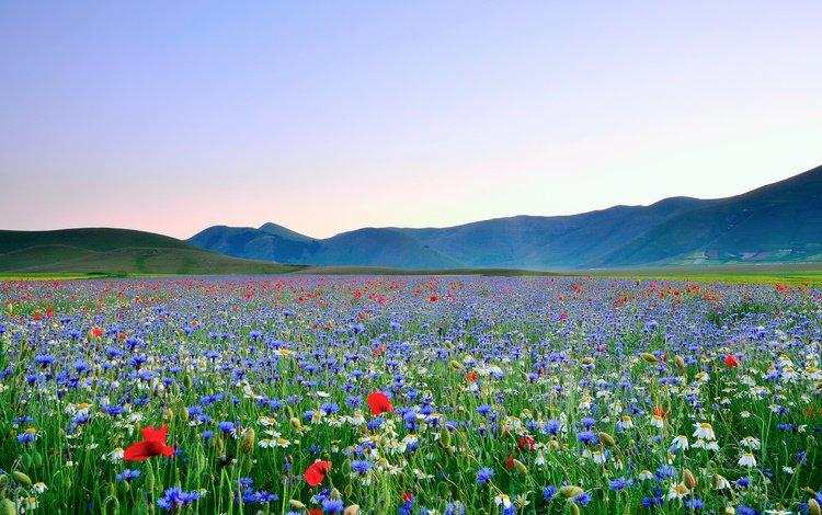 Василькое поле в горах