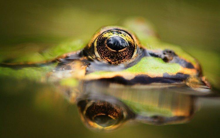 вода, отражение, животные, лягушка, глаз, лягушки, water, reflection, animals, frog, eyes, frogs
