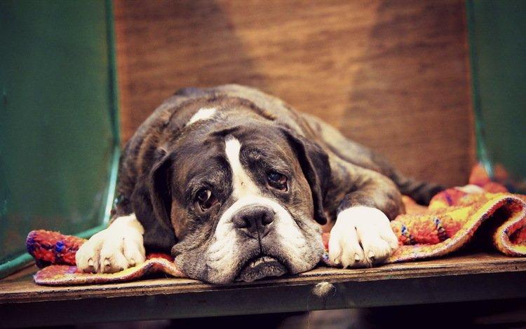 мордочка, грусть, взгляд, собака, лежит, боксер, коврик, muzzle, sadness, look, dog, lies, boxer, mat