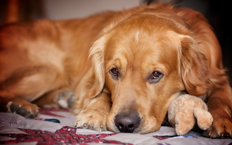 sadness, look, dog, each, golden retriever