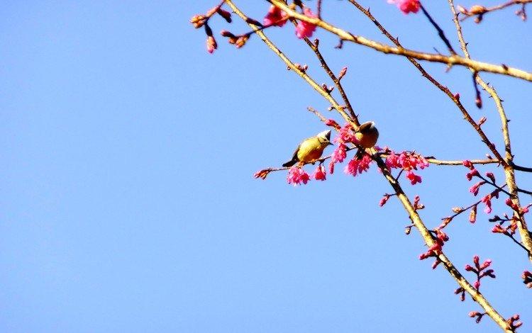 небо, природа, ветви, птицы, весна, розовые цветы, цветущей сакуры, the sky, nature, branch, birds, spring, pink flowers, cherry blossoms