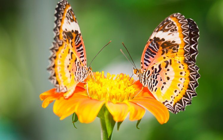 macro, flower, insects, butterfly, malay lacewing