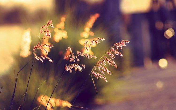трава, закат, лето, колоски, боке, солнечный свет, grass, sunset, summer, spikelets, bokeh, sunlight