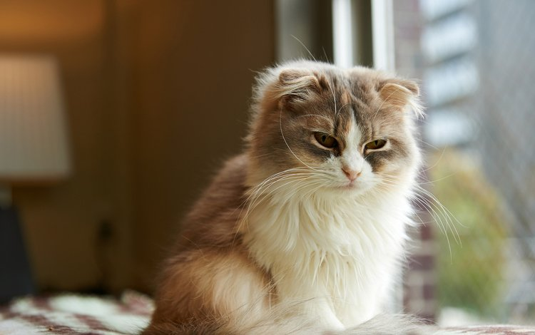 морда, сонная, кот, кошка, комната, окно, пушистая, шотландская, вислоухая, длинношерстная, longhair, face, sleepy, cat, room, window, fluffy, scottish, fold