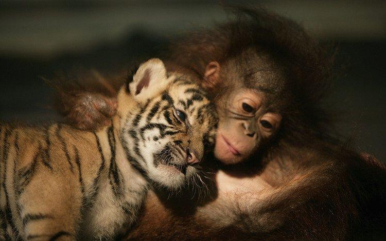 тигренок, обезьяна, друзья, орангутанг, шимпанзе, tiger, monkey, friends, orangutan, chimpanzees
