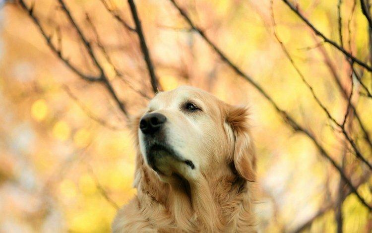 взгляд, осень, собака, золотистый ретривер, look, autumn, dog, golden retriever