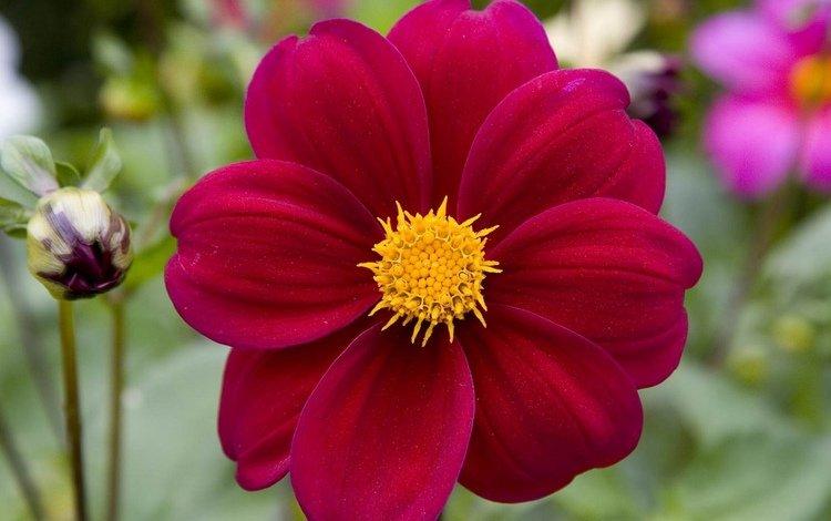 цветы, макро, сад, яркие, нарядные, георгины, flowers, macro, garden, bright, elegant, dahlias