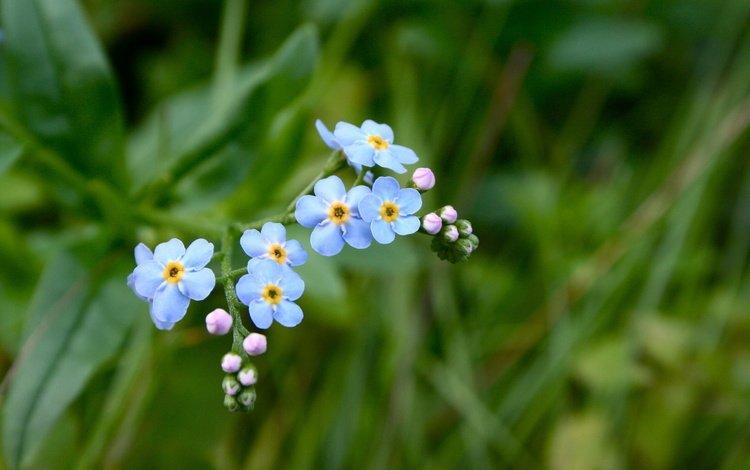 цветы, трава, зелёный, фокус камеры, голубой, незабудки, незабудка, flowers, grass, green, the focus of the camera, blue, forget-me-nots, forget-me-not