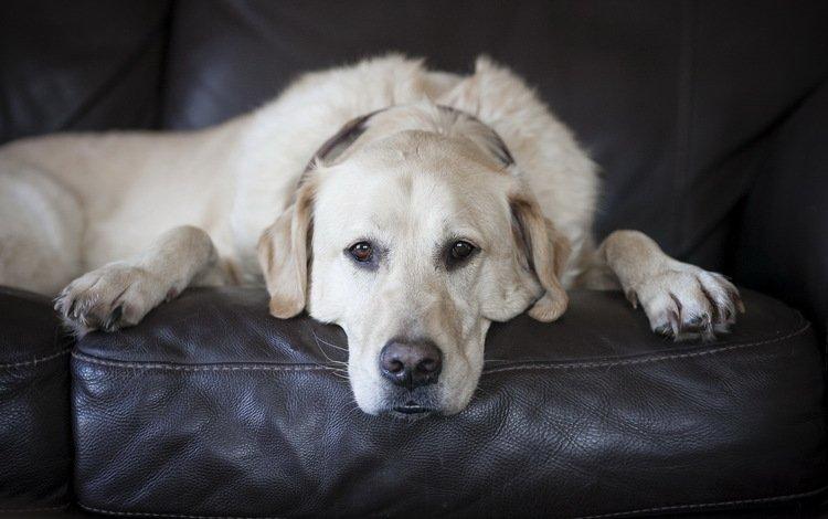 взгляд, белый, собака, лабрадор, look, white, dog, labrador