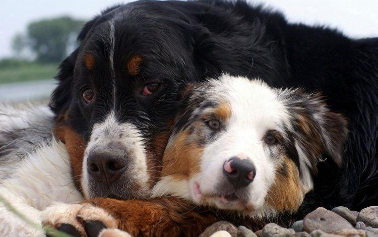 камни, забота, друзья, собаки, объятия, австралийская овчарка, бернский зенненхунд, stones, care, friends, dogs, hugs, australian shepherd, bernese mountain dog