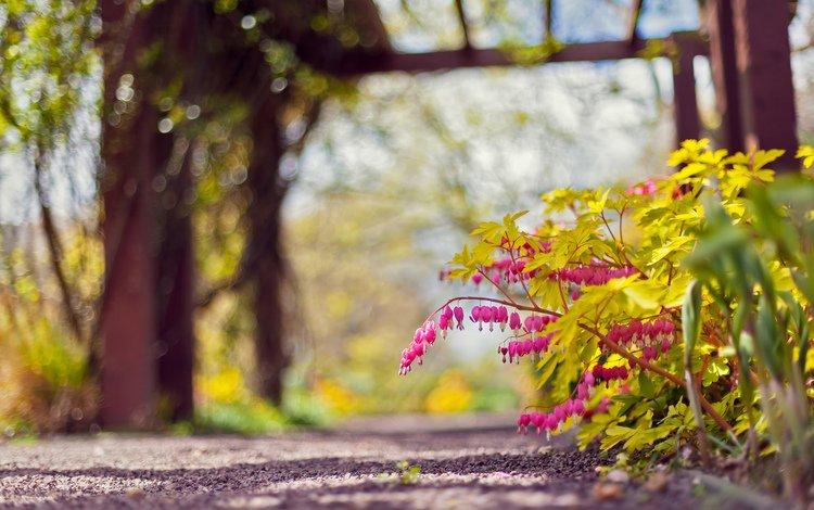цветы, природа, фокус камеры, парк, дорожка, розовый, боке, дицентра, flowers, nature, the focus of the camera, park, track, pink, bokeh, the bleeding heart