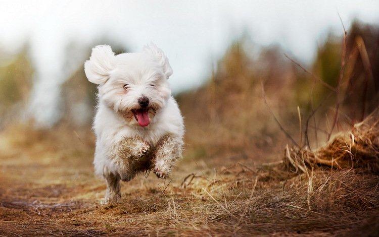 собака, радость, бег, белая, болонка, гаванская, dog, joy, running, white, lapdog, havana