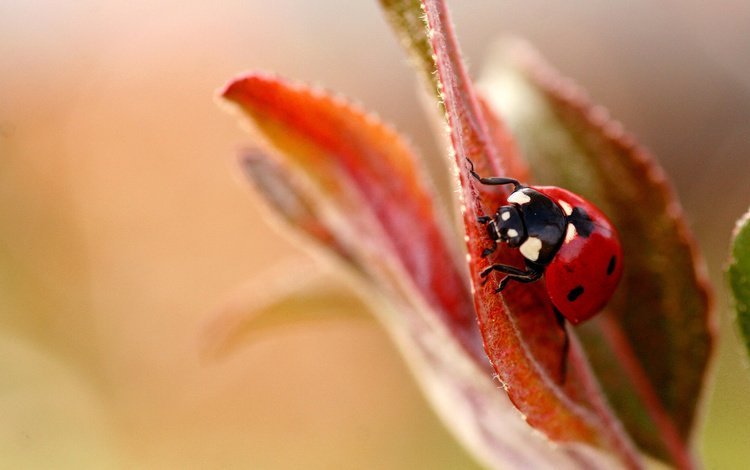 божья коровка, cvetok, bozhya, korovka, listok, ladybug
