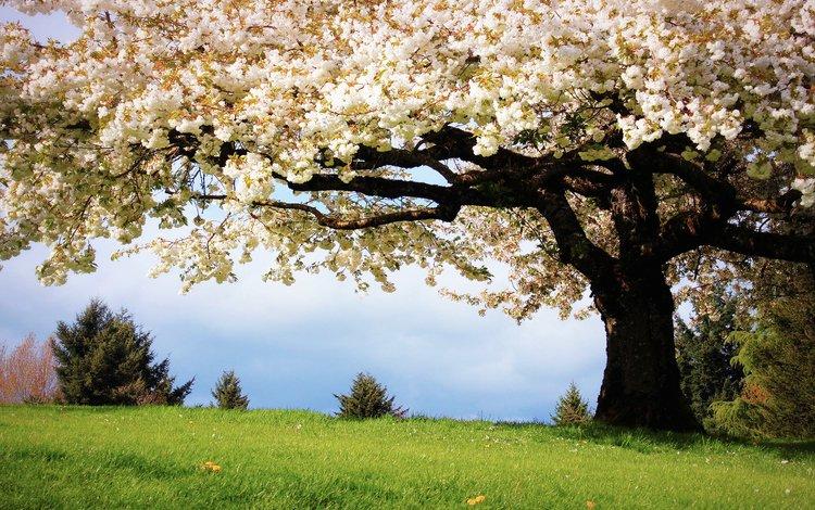 Красивое цветущее дерево